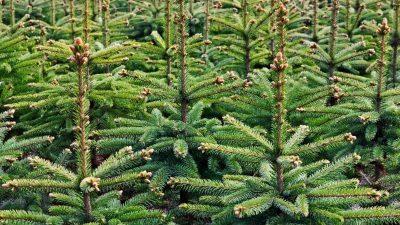 Kerstbomen worden vanaf 4 januari opgehaald
